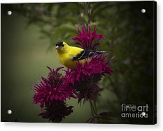 Golden Bee Balm Acrylic Print by Cris Hayes