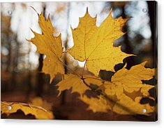 Golden Coloured Maple Leaves In Autumn Acrylic Print by Ron Bouwhuis