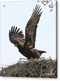 Acrylic Print featuring the photograph Golden Eagle Takes Off by Bill Gabbert