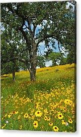 Golden Hillside Acrylic Print by Robert Anschutz