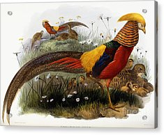 Golden Pheasants Acrylic Print by Joseph Wolf