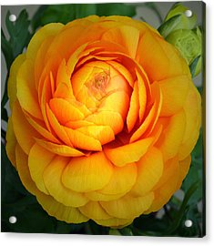 Golden Ranunculus. Acrylic Print by Terence Davis