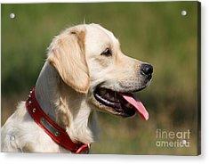Golden Retriever Dog Acrylic Print by George Atsametakis