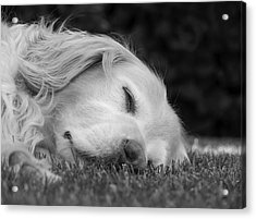 Golden Retriever Dog Sweet Dreams Black And White Acrylic Print by Jennie Marie Schell
