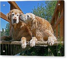 Golden Retriever Dogs The Kiss Acrylic Print by Jennie Marie Schell