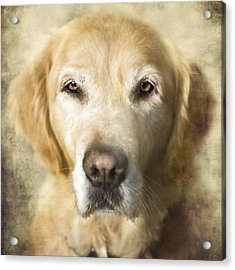 Golden Retriever Portrait Acrylic Print by Wolf Shadow  Photography