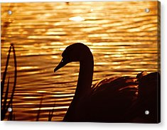Golden Swan Acrylic Print by Catherine Davies