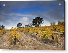 Golden Vines Acrylic Print by Mike  Dawson
