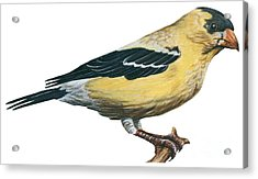 Goldfinch  Acrylic Print by Anonymous