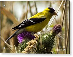 Goldfinch Atop A Purple Thistle Acrylic Print by Darleen Stry