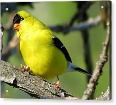 Goldfinch Acrylic Print by Marcus Moller