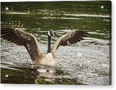 Goose Action Acrylic Print by Karol Livote
