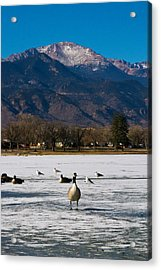 Goose At The Peak Acrylic Print by Matt Radcliffe