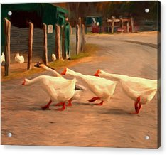 Goose Crossing Acrylic Print by Michael Pickett