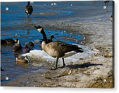 Goose Gazing Greater Acrylic Print by Matt Radcliffe
