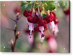 Gooseberry Flowers Acrylic Print by Peggy Collins