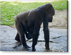 Gorilla With Baby Holding On Acrylic Print by Chris Flees