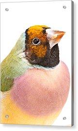 Gouldian Finch Erythrura Gouldiae Acrylic Print by David Kenny