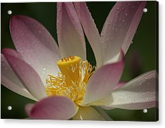Graceful Lotus Acrylic Print by Bonita Hensley