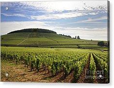 Grand Cru And Premier Cru Vineyards Of Aloxe Corton. Cote De Beaune. Burgundy. Acrylic Print by Bernard Jaubert