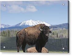 Grand Tetons Bison Acrylic Print by Charles Warren