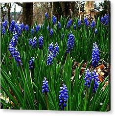 Grape Hyacinths Acrylic Print by Julie Dant