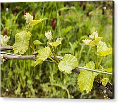 Grape Leaves In Early Spring Acrylic Print by Jean Noren
