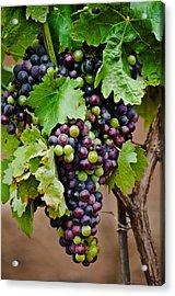 Grape Veraison Acrylic Print by Swift Family