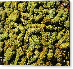 Grapes In A Vineyard, Domaine Carneros Acrylic Print by Panoramic Images