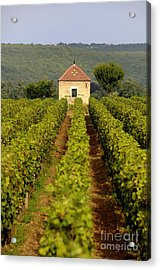 Grapevines. Premier Cru Vineyard Between Pernand Vergelesses And Savigny Les Beaune. Burgundy. Franc Acrylic Print by Bernard Jaubert
