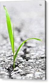 Grass In Asphalt Acrylic Print by Elena Elisseeva