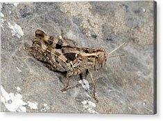 Grasshopper Calliptamus Barbarus Juvenile Acrylic Print by Nigel Downer