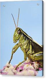 Grasshopper Close-up Acrylic Print by Thomas Kitchin & Victoria Hurst