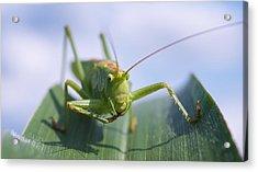 Grasshopper Acrylic Print by Tilen Hrovatic