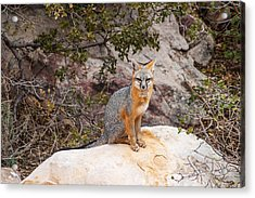 Gray Fox II Acrylic Print by James Marvin Phelps