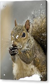 Gray Squirrel - D008392  Acrylic Print by Daniel Dempster