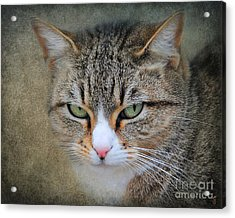 Gray Tabby Cat Acrylic Print by Jai Johnson