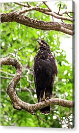 Great Black Hawking Calling In A Tree Acrylic Print by Paul Williams