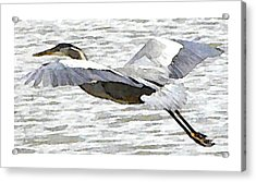 Great Blue Flight Acrylic Print by John Goyer