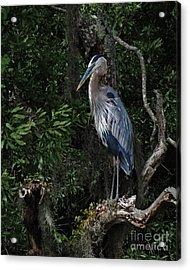 Great Blue Heron  Acrylic Print by Deborah Smith