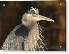 Great Blue Heron Portrait Acrylic Print by Daniel Behm
