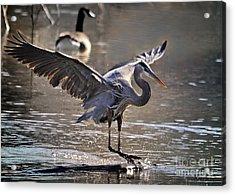 Great Blue Heron Skiing Acrylic Print by Nava  Thompson