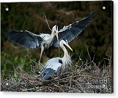 Great Blue Herons Nesting Acrylic Print by Sabrina L Ryan