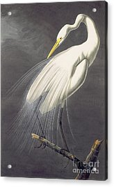 Great Egret  Acrylic Print by Celestial Images