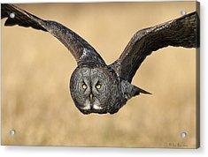 Great Gray Owl In Flight Acrylic Print by Daniel Behm