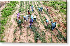 Great Green Wall Farming Acrylic Print by Thierry Berrod, Mona Lisa Production