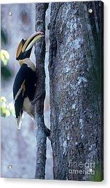 Great Hornbill Acrylic Print by Art Wolfe