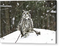 Great Horned Owl In A Winter Snow Storm Acrylic Print by Inspired Nature Photography Fine Art Photography