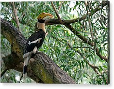 Great Indian Hornbill Acrylic Print by Art Wolfe