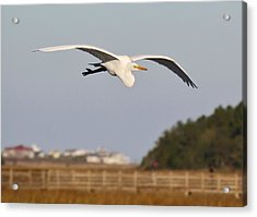 Great White Egret Incoming Acrylic Print by Paulette Thomas